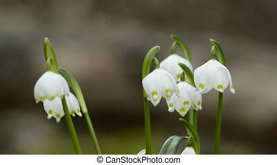 Snowflake, rare protected spring flower of Germany