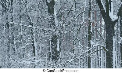 Snowing in deciduous forest on background of leafless trees...