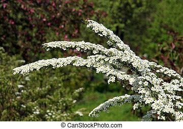 Snowmound Spirea Flowers - Snowmound spirea flowers (Spiraea...
