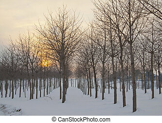 Snowscape - Ordinated trees over snow, with sunset on the...