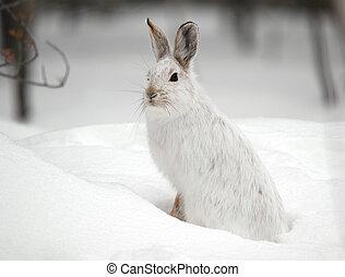 snowshoe の ノウサギ