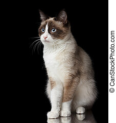 Snowshoe cat, isolated on black background with reflection