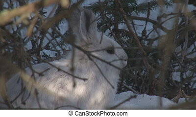 Snowshoe Hare 2 - Snowshoe hare hunkering down in brush,...