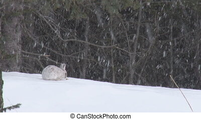 Snowshoe Hare 3 - Snowshoe hare in snow.  Eating a morsel.