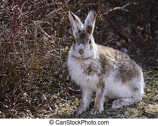 A snowshoe hare as his white winter fur coat turns to brown.