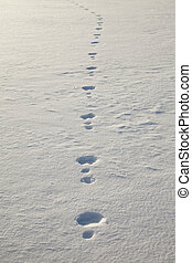 Snowshoe hare tracks in snow