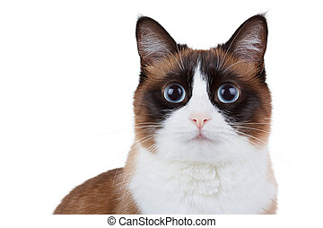 Snowshoe thai cat portrait, sitting and looking at the...