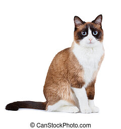 Snowshoe thai cat, sitting and looking at the camera,...