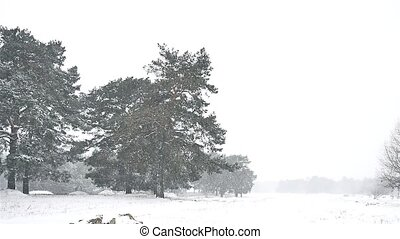 snowstorm blizzard in the woods snowing winter nature,...