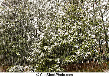 A snow storm on an evergreen forest