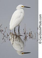 snowy のegret, 渡ること, 中に, a, 浅い, 沼地, -, フロリダ