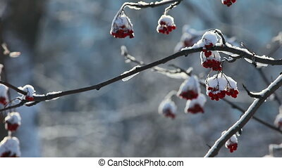 Snowy ashberry. - Frosty winter day in the park.