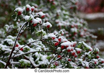Snowy Azalea Red Buds 2