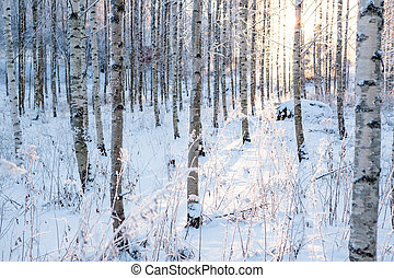 Snowy birch forest and sun light - Snowy birch forest at...