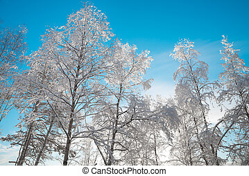 snowy birch trees with a blue sky in the background