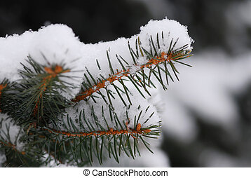 Snowy branch - Macro of a fir branch covered with snow