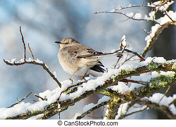 Northern mockingbird perching a a snow covered branch