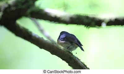 Snowy-browed Flycatcher (Ficedula hyperythra) male in...