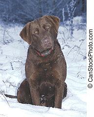 Snowy Chessy - chesapeake retriever in the snow