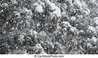 Snowy conifer trees - Close up conifer trees in heavy snow