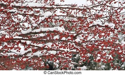 Snowy Crab Apples HD - Seamless HD widescreen loop of snow...