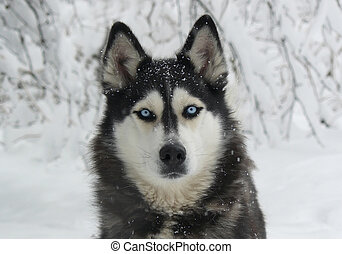 dog in the snow - Siberian Husky with blue eyes