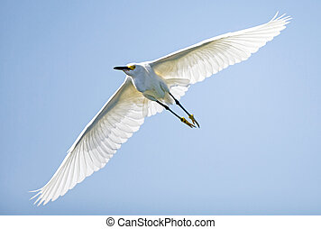 Snowy egret a bright white bird with yellow feet