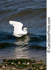 Snowy Egret - A white snowy egret bird with its wings spread...