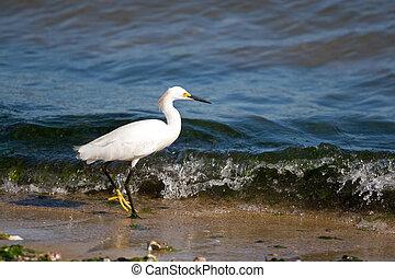 Snowy Egret - A young snowy egret bird walking along the ...