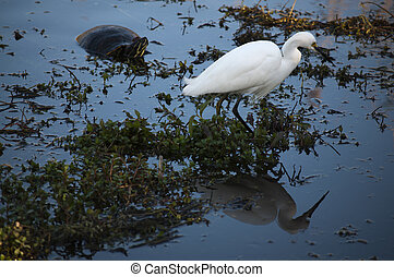 Snowy egret and a pond turtle wading in water