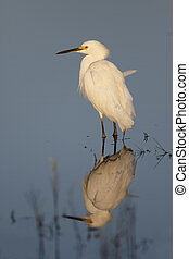 Snowy Egret and reflection - Florida