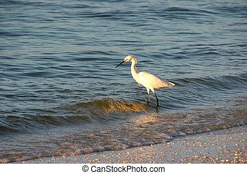Snowy Egret Bird Ocean Waves Sunrise Sanibel Florida