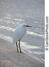 Snowy Egret Bird on Beach Sanibel Florida