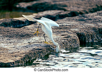 Snowy egret darting for fish