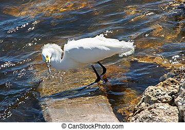 Snowy Egret Ding Darling Wildlife Refuge Florida