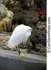 Snowy Egret Ding Darling Wildlife Refuge Sanibel Florida