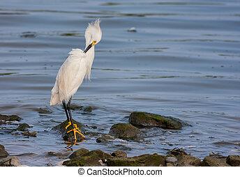 Snowy Egret (Egretta Thula) - A snowy egret (Egretta Thula) ...