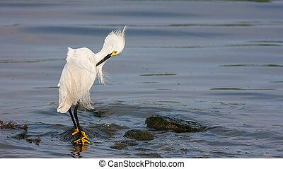 Snowy Egret (Egretta thula) - A Snowy Egret, Egretta thula, ...