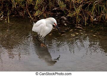 Snowy Egret, Egretta thula, bird forages in a marsh in ...