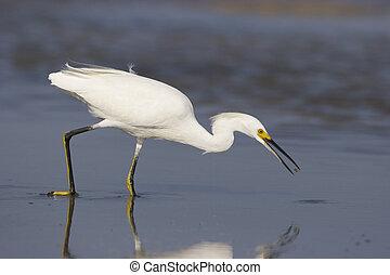Snowy Egret, Egretta thula, fishing or feeding in shallow ...