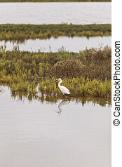Snowy Egret, Egretta thula, forages in a marsh in Southern ...