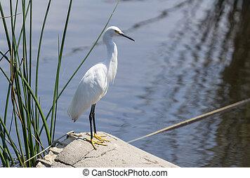 Snowy Egret, Egretta thula, forages in a tidal pool in ...