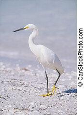 Snowy Egret (Egretta thula) in breeding plumage looking for ...