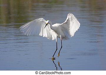 Snowy Egret (Egretta thula) in flight in the Florida ...