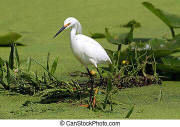 Snowy Egret (Egretta thula) in the Florida Everglades
