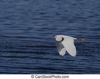 Snowy egret, Egretta thula, Single bird in flight, Baja ...