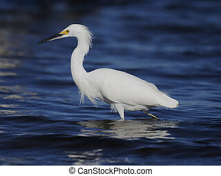 Snowy egret, Egretta thula, Single bird in water, Baja ...