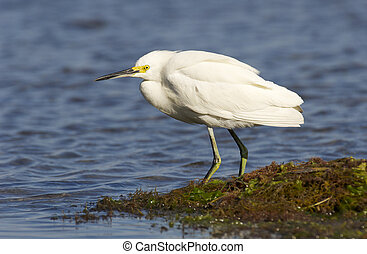 Snowy Egret, Egretta thula, standing in shallow blue water ...