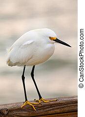 Snowy egret (Egretta thula) standing on boardwalk railing