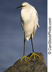 Snowy Egret, Egretta thula, standing on rock with blue water...